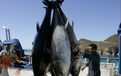 Is farmed Bluefin Tuna a more sustainable option?  WWF investigates.